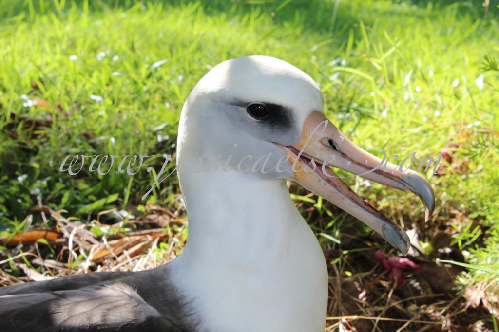 Laughing Albatross